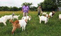 goats-ft
