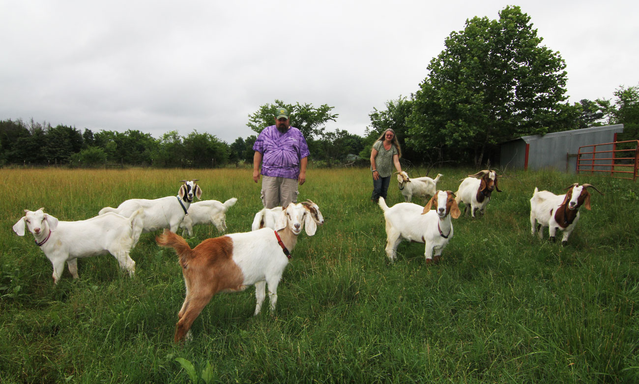 greedy goats clearing brush removing invasive species in